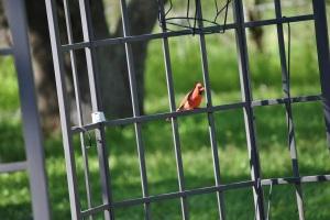 Cardinalbuddy